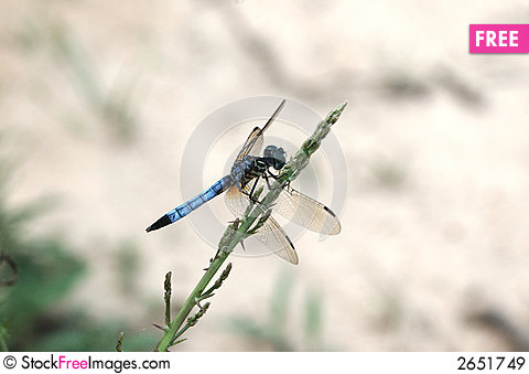 Free Dragon Fly Royalty Free Stock Images - 2651749
