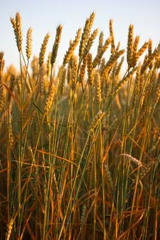 Free Golden Wheat Field Stock Images - 2650894