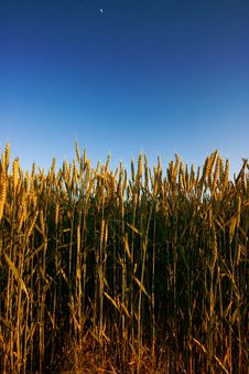 Free Golden Wheat Field Stock Photo - 2650950