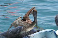 Free Pelican Ready For Flight Stock Photo - 2651690