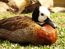 Free Duck Royalty Free Stock Images - 2652179