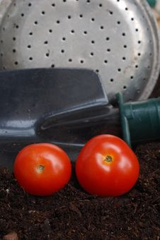 Free Home Grown Tomatoes Royalty Free Stock Photo - 2653035