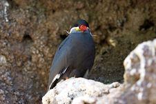 Inca Tern In Its Burrow Royalty Free Stock Image