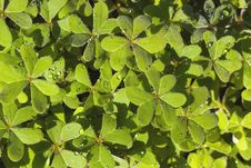 Free Moist Clover Stock Photo - 2653640