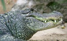 Free Mississipi Alligator 3 Royalty Free Stock Images - 2654979