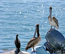 Two Pelicans And A Gull Royalty Free Stock Image