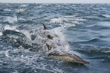 Free COMMON DOLPHINS 3 Royalty Free Stock Images - 2656539