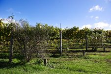 Rows Of Grapes Royalty Free Stock Images