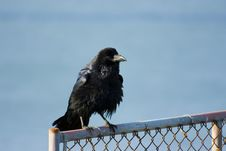Free Raven Stock Photo - 2659410