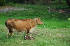 Free Cow Resting In The Countryside Stock Photos - 2659553