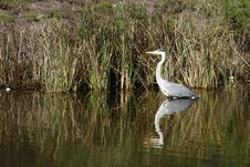 Free Heron In The Water Royalty Free Stock Photography - 2659687