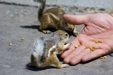 Free Feeding Domesticated Chipmunks Stock Images - 2659954