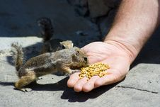 Free Feeding Domesticated Chipmunks Royalty Free Stock Image - 2659956