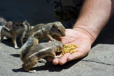Free Feeding Domesticated Chipmunks Royalty Free Stock Photos - 2659958