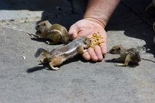 Free Feeding Domesticated Chipmunks Stock Photo - 2659990