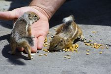 Free Feeding Domesticated Chipmunks Stock Photography - 2659992