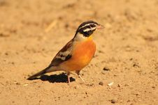 Goldenbreasted Bunting - African Gold Stock Image