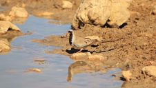 Free Namaquae Dove - African Beauty Royalty Free Stock Image - 26503606