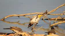 Free Redeyed Bulbul - Leaning In For A Drink - Africa Royalty Free Stock Images - 26503659