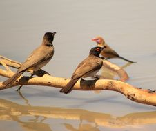 Free Redeyed Bulbul And Violeteared Waxbill - Water Stock Photo - 26503710