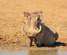 Warthog - African Mud Therapy Stock Photos