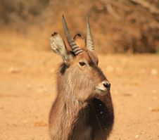 Free Waterbuck - Golden Portrait 2 Stock Image - 26504561
