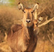 Free Waterbuck, 3 Eyes On You - African Antelope Stock Photo - 26504600