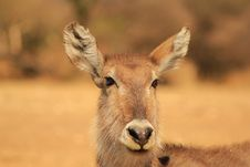 Free Sunset Stare From Waterbuck Mom - Africa Stock Images - 26504684