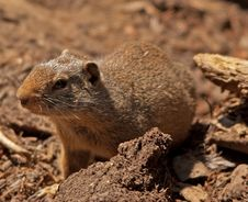 Free Curious Ground Squirrel Stock Image - 26504711