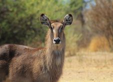 Free Spring Stare From Waterbuck Mom - Africa Stock Photo - 26504770