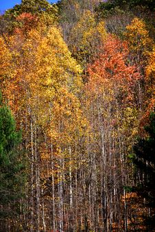 Free Tall Colorful Aspen Trees Royalty Free Stock Photos - 26512118