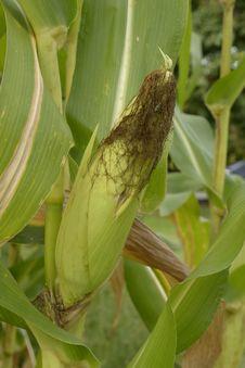 Free Corn Stock Photo - 26513320