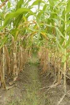 Free Corn Stock Photo - 26513330