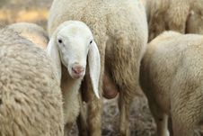 Free Lamb In Herd Of Sheep Stock Image - 26514881