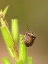 Free Shield Bug Royalty Free Stock Photography - 26524237
