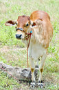 Free Baby Cow Royalty Free Stock Photos - 26525338