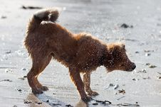 Cute Elo Puppy Shakes Out The Wet Fur Stock Image