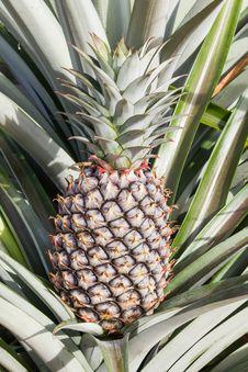 Free Unripe Pineapple Fruits Royalty Free Stock Photo - 26527135