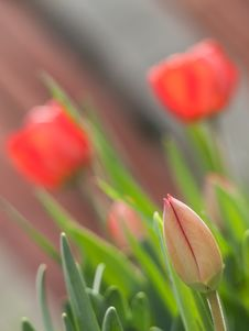 Free Red Tulips In A Garden Royalty Free Stock Photos - 26532478