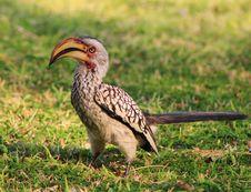 Hornbill, Yellowbilled - African Wings Stock Image