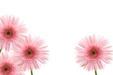 Free Pink Gerbera Royalty Free Stock Photo - 26536245