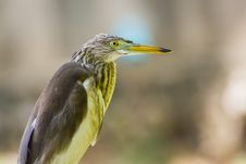 Free Great Bittern Royalty Free Stock Image - 26536476