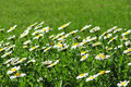 Free Camomile Flowers In A Green Grass Stock Images - 26548004