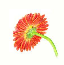 Free Backside Of Marigold Stock Image - 26541371