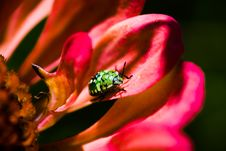 Free Southern Green Stink Bug Larva On Red Flower Royalty Free Stock Photos - 26541778