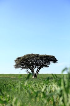 Free One Tree In A Field Royalty Free Stock Images - 26542659
