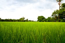 Free Rice Field Royalty Free Stock Photography - 26543187