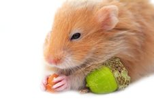 Free Hamster Isolated Stock Image - 26546291