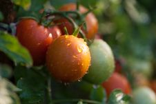 Free Red And Green Tomatoes Stock Images - 26547534
