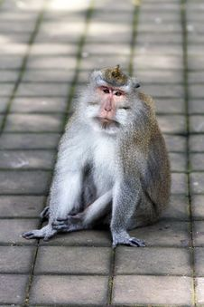 Thoughtful Monkey In Ubud Forest, Bali Stock Photography